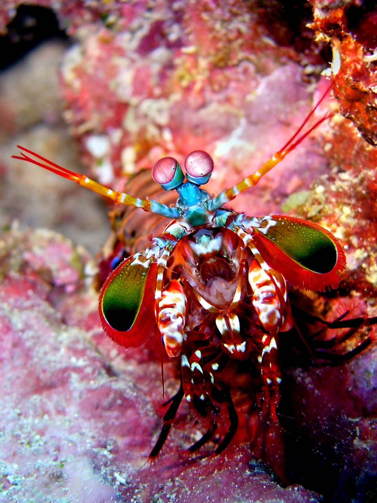 Humans only have three color channels in which we can see. The mantis shrimp has twelve channels, seeing colors we couldn't even dream possible.