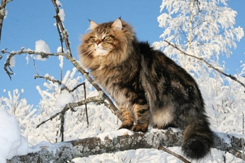 norwegian forest kitty cat