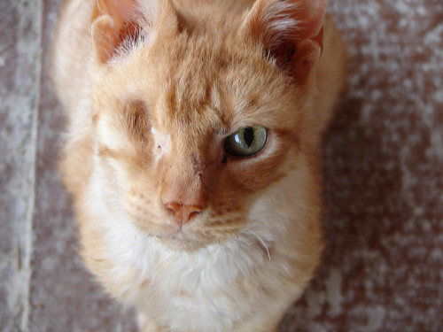 catp0rn:  worldlyanimals:  A very affectionate, one eyed AIDS (FIV+) kitty. (Tjflex2)  perf