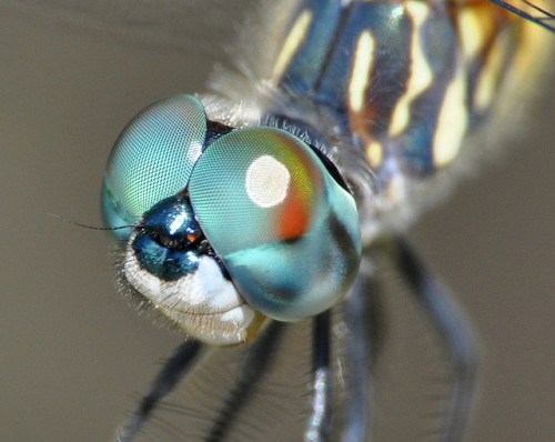 worldlyanimals:  Dragonfly in Macro (Lon Fong)