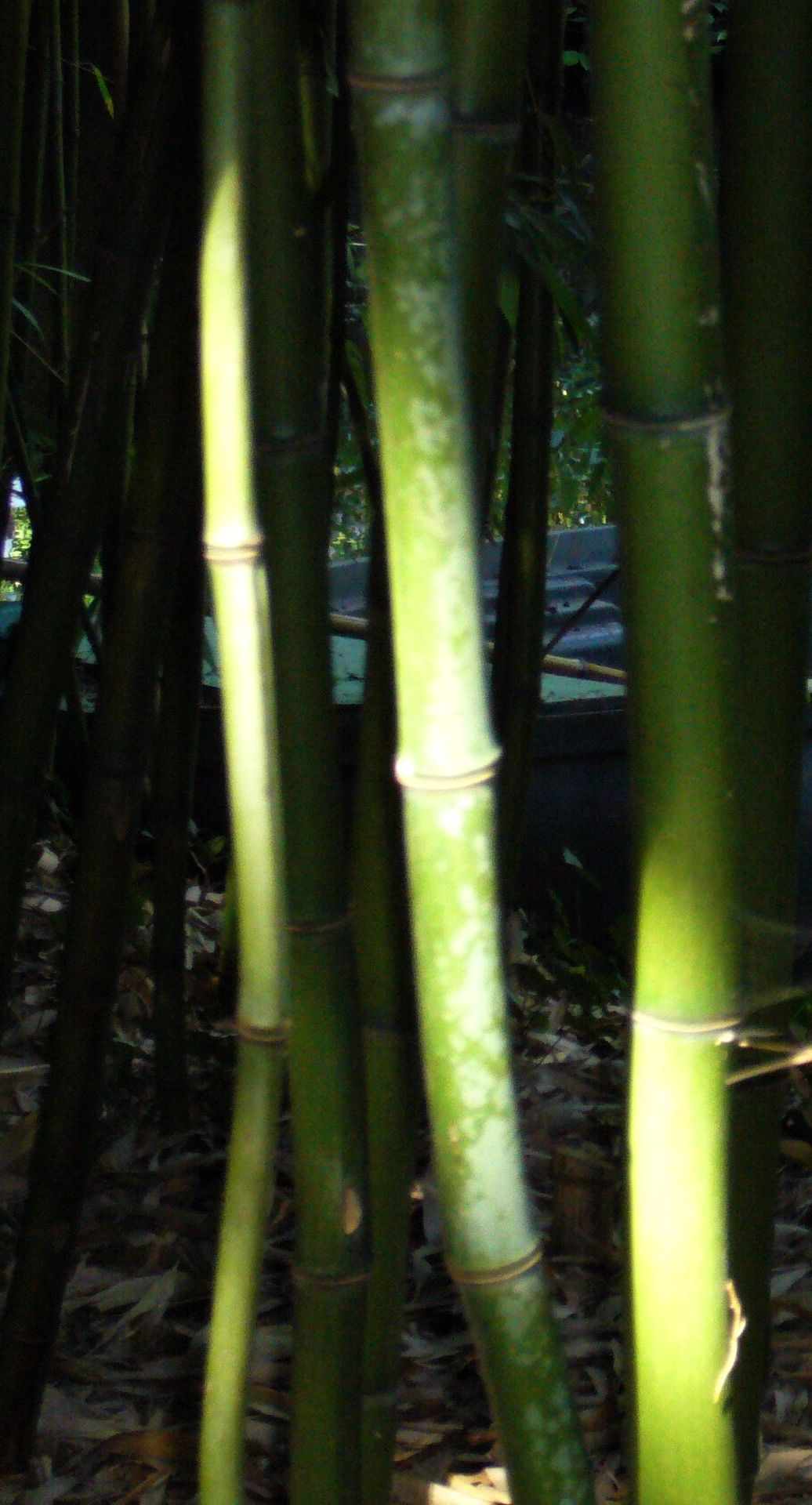 Bamboo Claude Monet's garden at Giverny By yama-bato