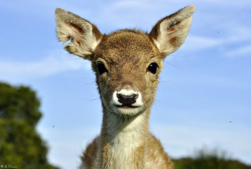 Izzy is our 12-week-old hand reared Fallow Deer at The Scottish Deer Centre.  (by Arctic Fox (Very Busy - Still Catching Up…))