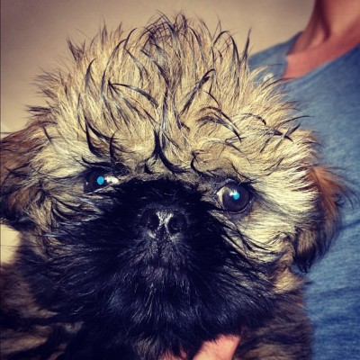 ivegothalfasmileandzeroshamesubmitted:  Milo, 12 week old Shih Tzu puppy :)  Hehehe, his hair.