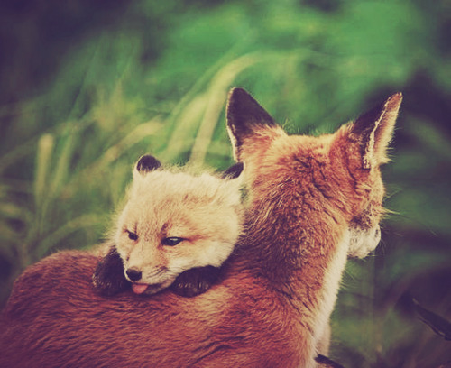 sweetoceanair:  i also really like foxes