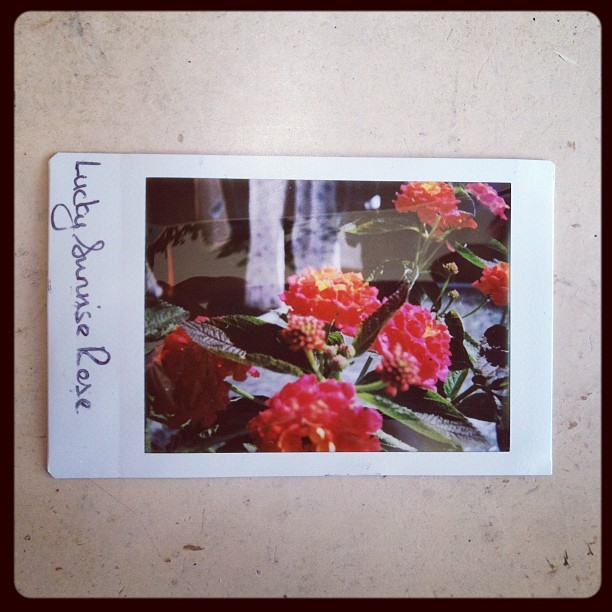 First test shot using Diana f+ camera with instant back on fujifilm instax mini. A wide angle 55mm close up lens was used. #diana #lomography #flower #instant #photography #summer  (Taken with Instagram)