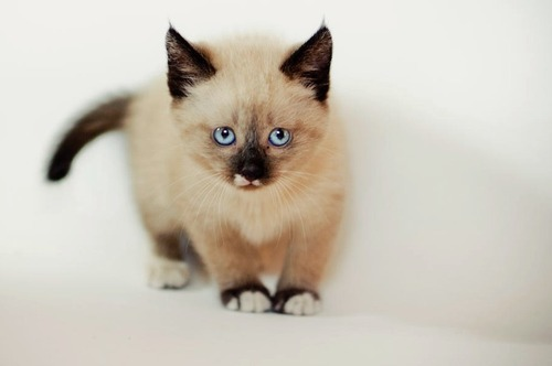 fluffy-kittens:  Cat #295/365 [+2] by iksiukasan