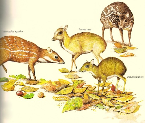 cannedbooks:  members of the Tragulidae family, small  nocturnal cloven-hooved mammals related to deers