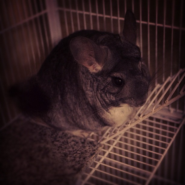 jonhume:  #chinchilla !! (Taken with Instagram)