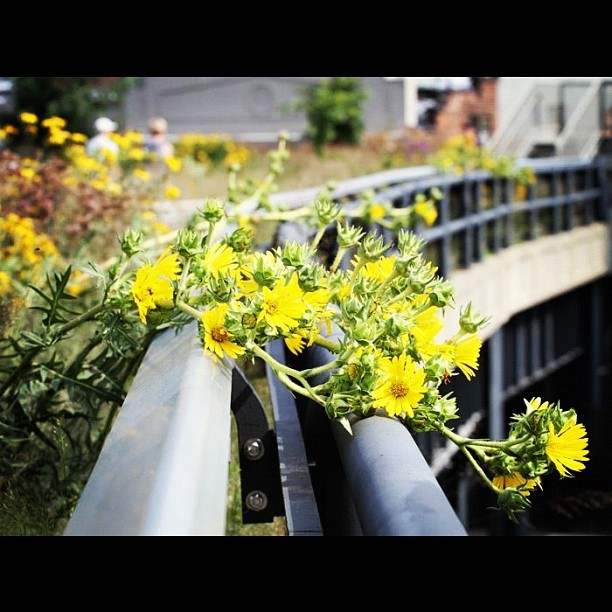 #thehighline #flowers #yellow #nycrightnow #park #meatpackingdistrict #highlinepark #photooftheday #picoftheday #beautiful #instapic #summer2012 #afternoon #nyc #newyork #manhattan  (Taken with Instagram at High Line Park)