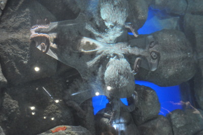 Giant Pacific Octopus at Monterey Bay Aquarium
