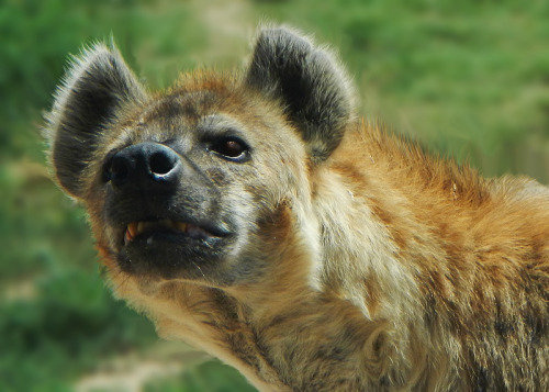 Hyena from the Denver Zoo