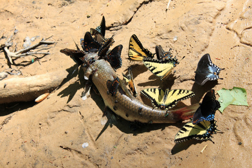 Butterflies scavenging dead fish