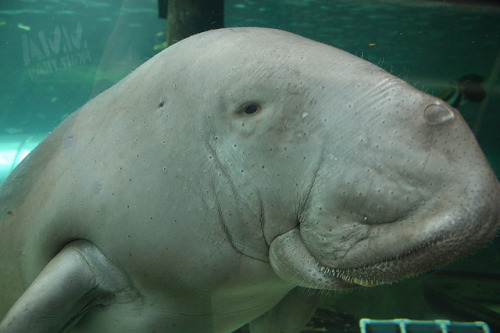 worldlyanimals:  Dugong (Past the Present Future by Chris Moreno)