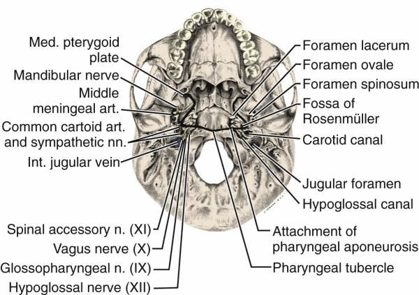 fuckyeahforensics:  Basal view of the skull showing the bony attachments of the nasopharyngeal wall. The bony foramina of the base of the skull are shown on the right and the structures occupying these foramina appear on the left.