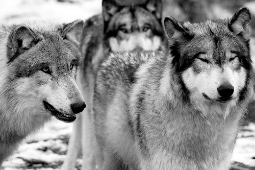 w0lfhearted:  More stunning wolves at w0lfhearted.