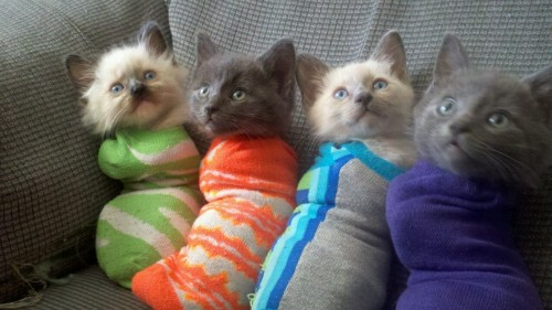 shoujomahou:  kittens in socks  OMG why would you sock a kitten?!?!?!?! :O