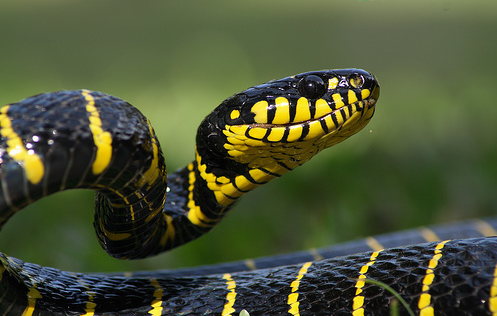 rhamphotheca:  beautifulsnakes: Mangrove Snake (Boiga dendrophila), SE Asia * Many rear-fanged venomous snakes have venom intended for cold blooded prey, and have what would be considered mild venom (as far as it affects humans). This species, however, has a fairly potent venom, forward pointing rear fangs, and is known to be rather aggressive in its own defense. This is not a snake to be trifled with. - Paxon