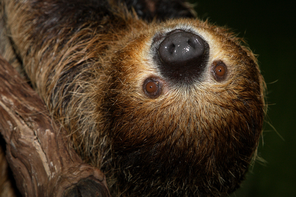 theanimalblog:  See two-toed sloths at the Smithsonian's National Zoo (by Smithsonian's National Zoo)
