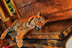 This is my favorite animal, yes its tiger!!! Sleeping tiger really cute