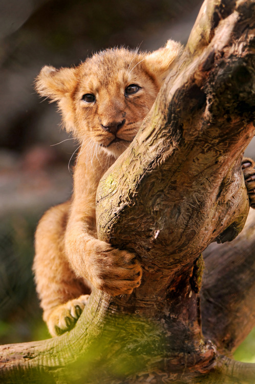 theanimalblog:  Climbing on the branch (by Tambako the Jaguar)