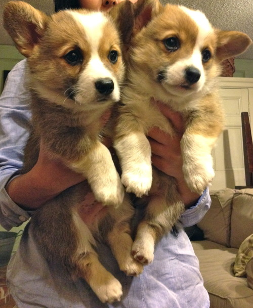 corgiaddict:  Cookie and his brother. Sadly they had to part ways :[