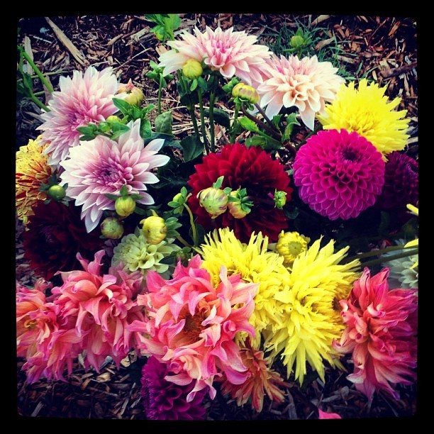 #dahliasseason doesn't stop! #flowerstagram #schoolgarden  (Taken with Instagram)