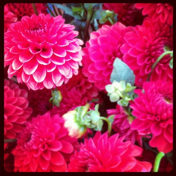 Red. #dahliasseason #flowerstagram #schoolgarden  (Taken with Instagram)