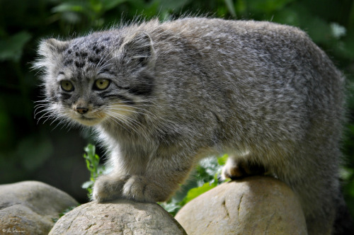 Pallas' Cat Kitten - 3 September 2011 (1) (by ArcticFox Images)