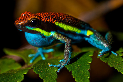 reptiglo:  Male poison arrow frog (Dendrobates macero) by pbertner on Flickr. Walking around at 4:30 in the morning has its advantages. This beautiful frog was found calling from an elevated perch on a fern. Relatively common, I saw several of these whenever I passed riparians on the trail. Found during a night hike in Pantiacolla midlevel rainforest, Manu national park, Peru.