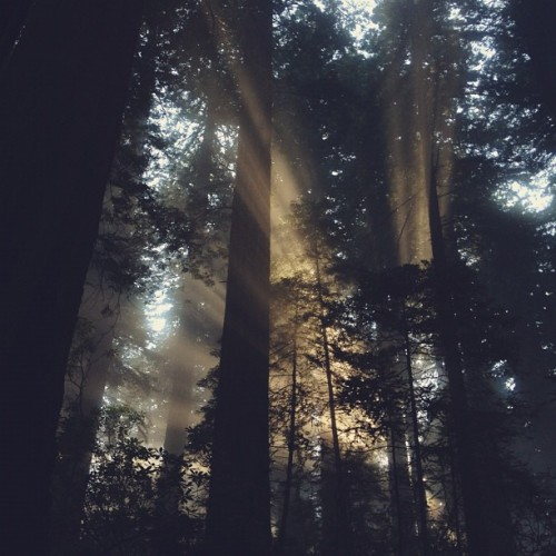 kevinruss:  Redwood light (Taken with Instagram at Del Norte Coast Redwood State Park)