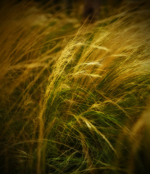 Golden Grains  (via All sizes | Untitled | Flickr - Photo Sharing!)