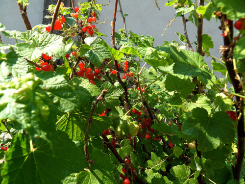 Currants. Country Foraging. It is essential to leave Urban environments for natural environments.
