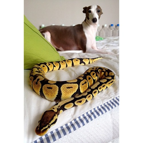 🐍&🐶 #snake #ballpython #pastel #reptile #dog #dogs #dogstagram #pet #petstagram #italiangreyhound #greyhound #animal #cute #adorable #lovey #pretty #beautiful #bed (Instagramで撮影)