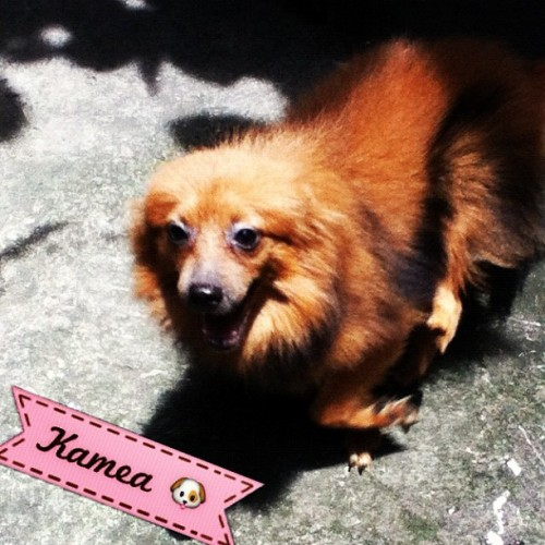 My #baby #girl :) Kamea 🐶 #pomeranian #puppy #igersmanila #random (Taken with Instagram)