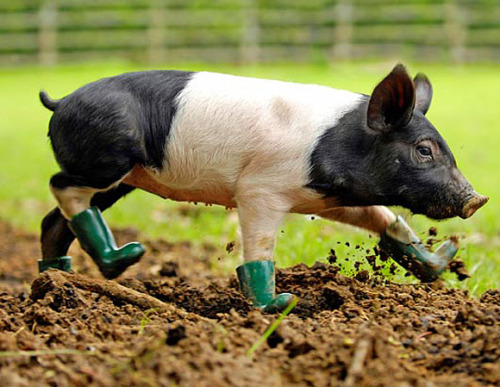 Rpy Pig in Boots | Cutest Paw