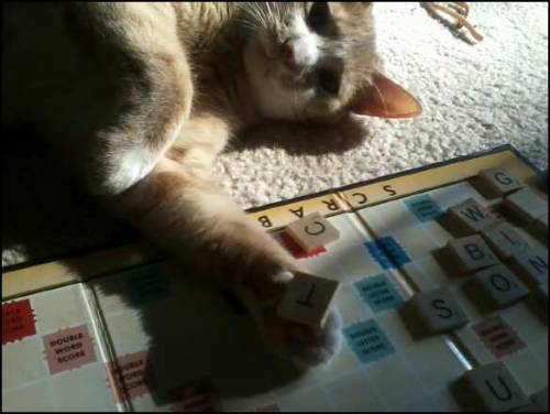 fuckyeahcats:  Squishy and I enjoying a morning game of Scrabble. (I won, but barely.)
