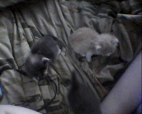 meet our 3 little 4 week old fosters from the neighbor's feral cat colony. Cheeto the orange one, Pip the calico, and Mica the little gray and white runt and only boy. For sure at least two have a home. Mica might, we haven't heard back from my brother's friend yet.