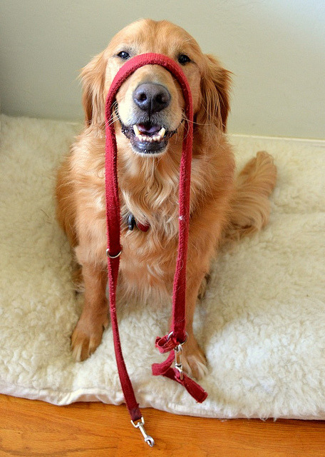 ihavelotsofdogs:  Excuse me…Are you ready? for my entitled walk? by Red Golden on Flickr. Golden Retriever