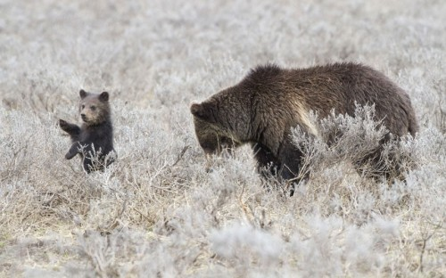 theanimalblog:  A grizzly bear cub appears to wave to the camera while mother digs for food in Yellowstone National Park, Wyoming. Photographer Nate Chappell said: Every so often the cub would stand on its hind legs and appear to wave to people taking photographs.Picture: Nate Chappell / Rex Features