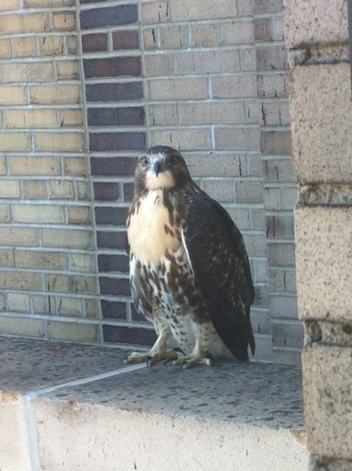Last week this hawk was spotted taking a break on our balcony. Do you have an idea what the hawk was thinking? Re-blog with a caption, and it may win you a prize. Deadline: Wednesday at noon.   -Abby Koski