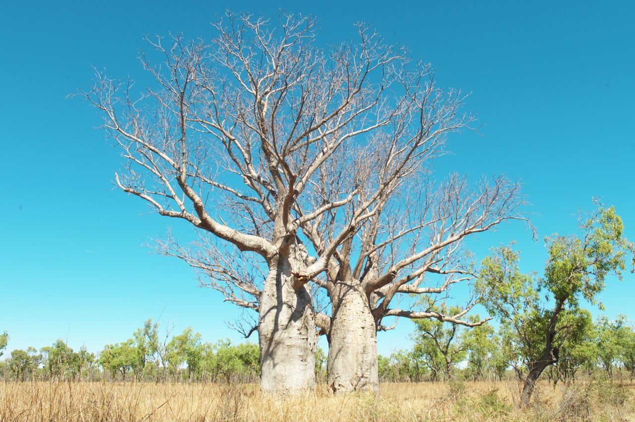 Adansonia gregorii, the boab tree, is native to Australia. Its trunk can be up to five meters wide, and there are a few varying species around the world.
