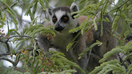 mothernaturenetwork:  Lemurs are the world's most threatened mammalsOver 90 percent of the world's lemurs were upgraded to critically endangered, endangered, or vulnerable on the IUCN's Threatened Species list.  This is important. Lemurs are our cousins.
