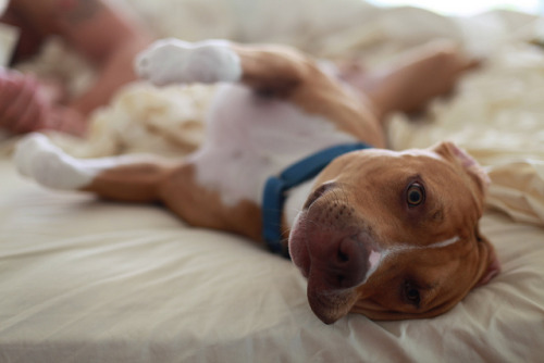 therealpitbull:  Sleepy day by Ginger Monteleone on Flickr.