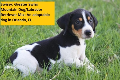 If by Swiss Mountain Dog/lab mix you mean beagle or hound mix, then yes, Swissy is a Swiss Mountain Dog/lab mix.