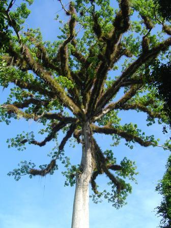 theadvocacyproject:  Ceiba the national Guatemalan tree.