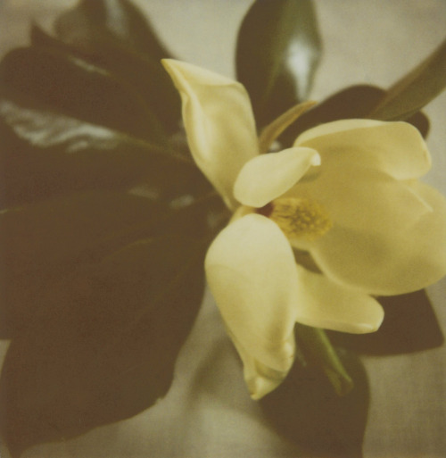 amandamarsalis:  Magnolia Virginia June 2012  FOR LUXXIE