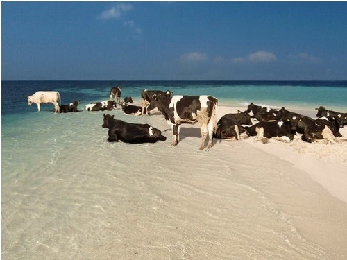 bunnyfood:  Cows need a vacation too