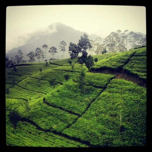 Tea garden #holiday #beautiful #tea #awesome (Taken with Instagram)