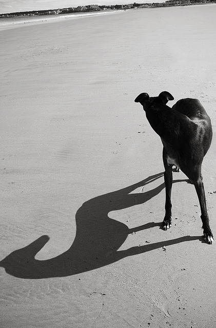 hellyeahgreyhounds:  roller by brieburkhart on Flickr. beautiful.