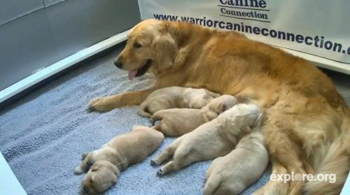WATCH: These Puppies Will Grow Up to Serve Disabled Veterans Question: What's the only thing better than a room full of puppies? Answer: A room full of puppies you can watch 24/7! Explore.org and Dog Bless You have launched a new live cam that follows a golden retriever litter, born on June 24th. The five girls and one boy are hanging out with recovering soldiers while they train to become service dogs for disabled war veterans. Their mom Holly couldn't be prouder.